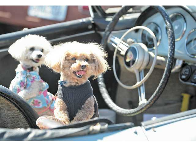 Poodles Trudie, left, and Bear sit in a 1958 Porsche Roadster.
