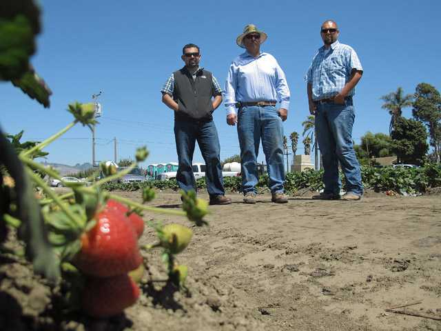 In this photo taken July 9, 2012, Rogelio Ponce Sr., center, and his two sons, Rogelio Ponce Jr., left, and Steven Ponce, right, pose for a photo on Monday, July 9, 2012 at the family's ranch in Watsonville,  where the Ponces grow nearly 200 acres of strawberries.