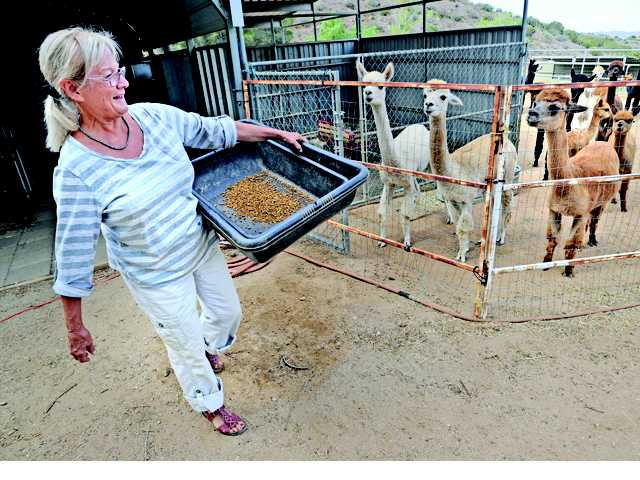 Female alpacas and their babies gather around Cecilia Secka as she feeds them carrots at Sweet Water Alpaca Ranch in Agua Dulce on Wednesday.