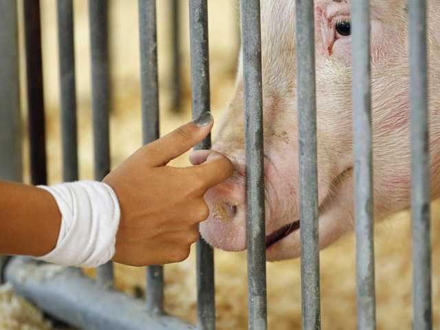 A participant checks on her pig on Aug. 1 in the Swine Barn at the Ohio State Fair, in Columbus. The Centers for Disease Control and Prevention said Thursday, there's been a five-fold increase of cases of a new strain of swine flu that spreads from pigs to people.