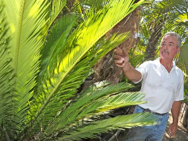 Richard Green of Green Landscape Nursery with a sago palm — a slow-growing, temperature-tolerant palm.