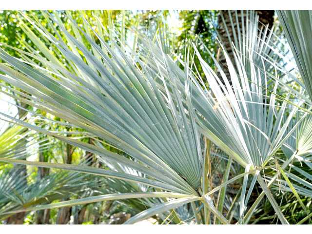 Leaves of a blue armata palm. These attractive, blue-gray leaves play well against other, dark green, landscaping, as well as near blue swimming pools.