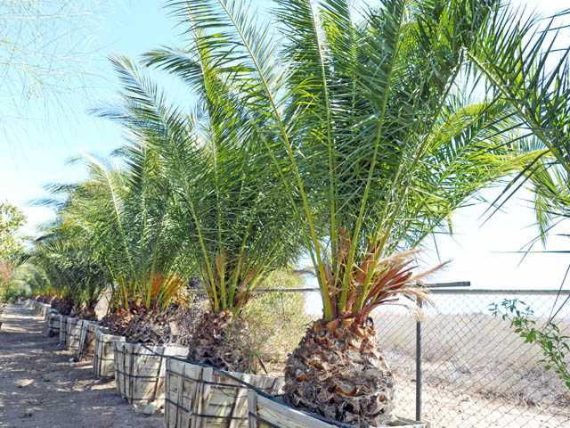 Canary Island date palm trees. These palms can be very dangerous, especially to children, because of the sharp spikes near the bottom of the branches.