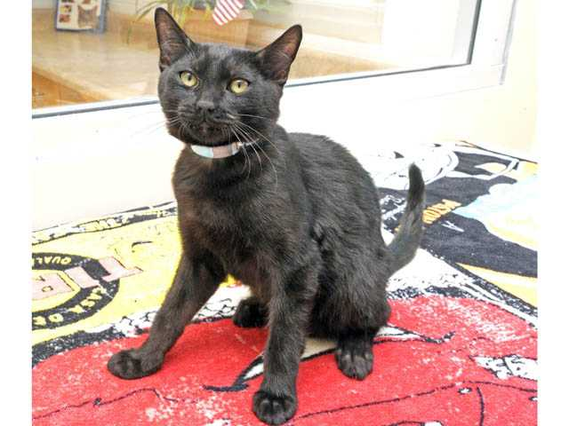 One of two twins. Altered males, black & black, domestic shorthaired mix, about 4 months old. ID # A4427332 and A4427345.
