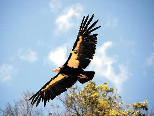 Lead ammunition still hampers condor recovery