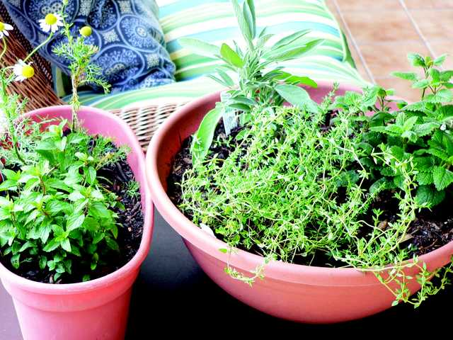 A medicinal indoor herb garden for healthful herbs throughout the winter months, from left, chocolate peppermint, and chamomile, and right, French thyme, sage and lemon balm.