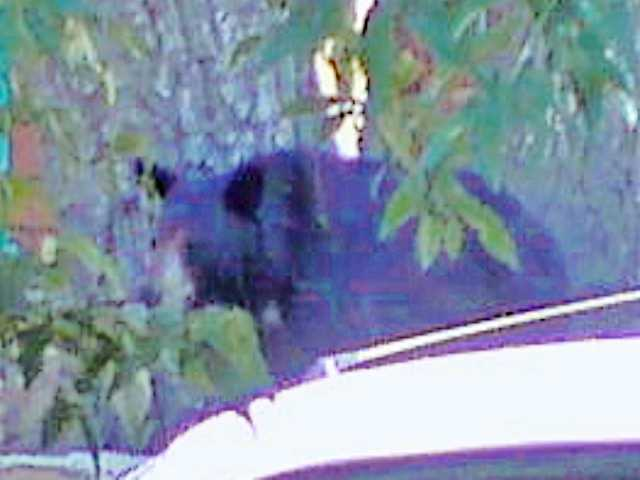 A black bear is seen near a home on Bouquet Canyon on Thursday.