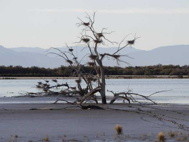 In a Dec. 27, 2010, photo, a fallen tree supports numerous heron nests in the mud of Southern California's Salton Sea.