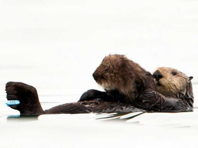 First CA sea otter to survive oil spill has a pup