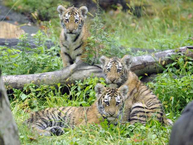 In this 2010 photo provided by the Wildlife Conservation Society, three tiger cubs rest at the Tiger Mountain exhibit at the Bronx Zoo in New York.