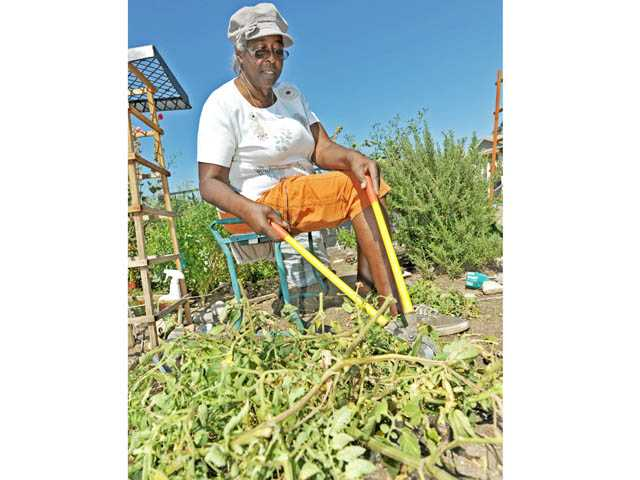 Bettye Hicks, of Saugus, cuts through tomato vines for composting.