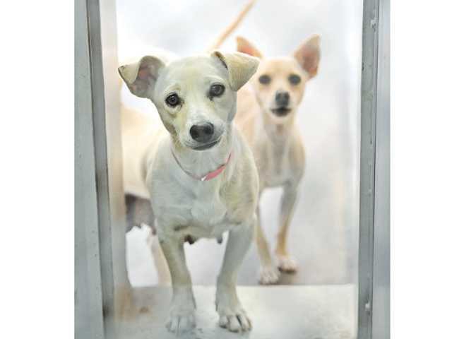 Angel, a 1-year-old Dachshund-Lab mix, left, and Crystal, a 4-year-old Chihuahua mix, guard their kennel at the Castaic Animal Shelter on Friday.