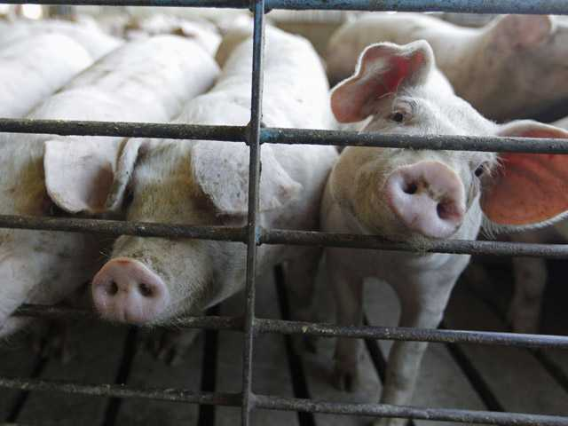 This June, 28, 2012, file photo shows hogs at a farm in Buckhart, Ill. U.S.