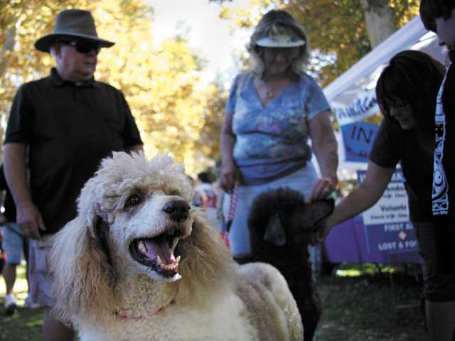 Standard poodles Torrey, 7, foreground, and Gunner, 8, enjoy their Sunday at the Bow-wows & Meows Pet Fair with their owners Cathie and Steve Huenemeier of Canyon Country.