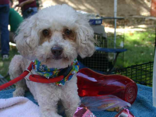 Speedy (A448785) is a real character, there certainly are not enough hours in the day for this little 3-year-old poodle … he is so busy.