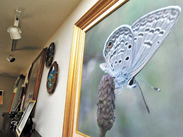 Levine's photograph of a ceraunus blue butterfly spotted in Clearwater, Fla., is displayed in his home. Levine's passion for butterflies started in his youth.
