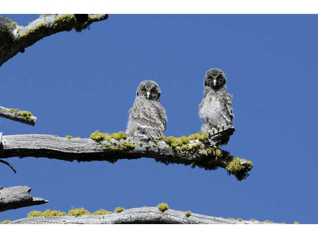 Two juvenile Great Gray Owls are shown on a tree branch in Yosemite National Park.