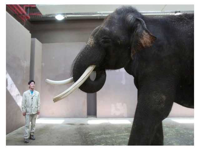 Koshik, a 22-year-old Asian elephant, puts his trunk in his mouth to modulate sound next to his chief trainer Kim Jong-gab at the Everland amusement park in Yongin, South Korea. Koshik uses his trunk to pick up not only food but also human vocabulary. He can reproduce five Korean words by tucking his trunk inside his mouth to modulate sound.