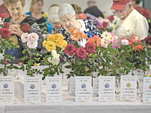 Guests examine roses on display at the Santa Clarita Valley Rose Society's 19th Annual Wild West Roses Rose show at Hart Hall at William S. Hart Park in Newhall on Saturday.