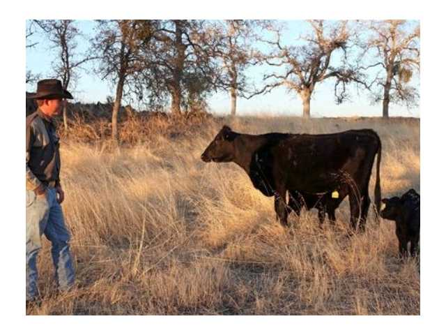 Herdsman Billy Freeman checks on a cow and her calves at a preserve run by the Sierra Foothill Conservancy near Prather, Calif. The conservancy's beef operation is certified Animal Welfare Approved and American Grassfed, both stringent labels.