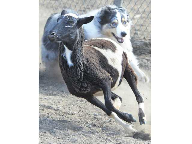 Cowboy chases the short hair sheep.