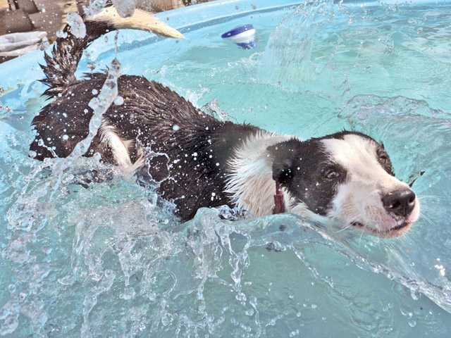 Bill takes a dip in a cool swimming pool as reward after sheep herding training a the Dog Psychology Center in Saugus.