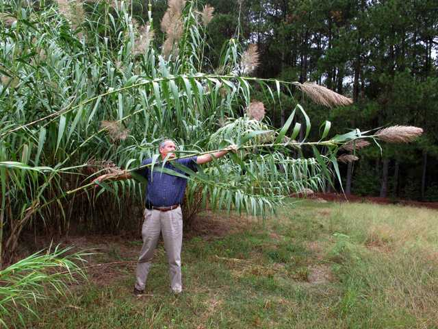 "In this Oct. 1 photo, Farming Director Sam Brake bends a stalk of Arundo donax toward the ground in a test plot behind the Biofuels Center of North Carolina in Oxford. The center is promoting the Asian transplant, but at least three states have already banned ""giant reed"" as invasive."