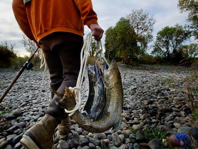 Salmon fisherman Jeff Kope of Fair Oaks, Calif., carries away his limit for the day just below Nimbus Dam in Gold River, Calif. on Tuesday. AP Photo/The Sacramento Bee, Randall Benton