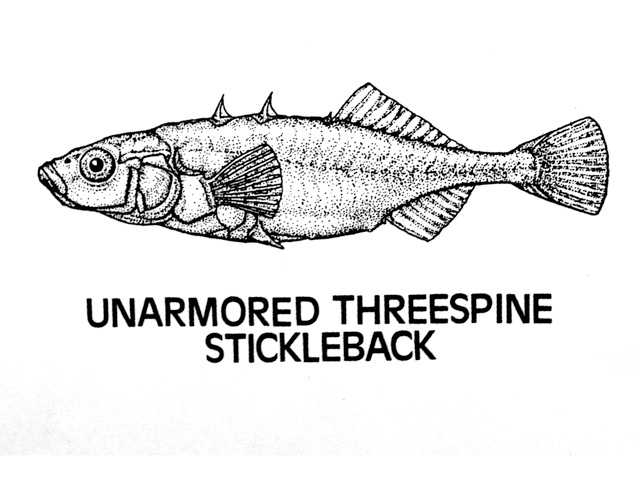 A line drawing of the unarmored threespine stickleback is shown.