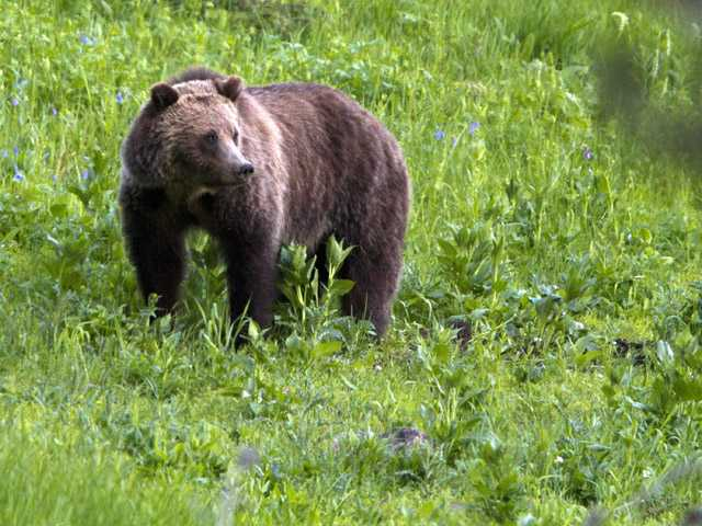 Grizzly managers look toward hunts in Rockies
