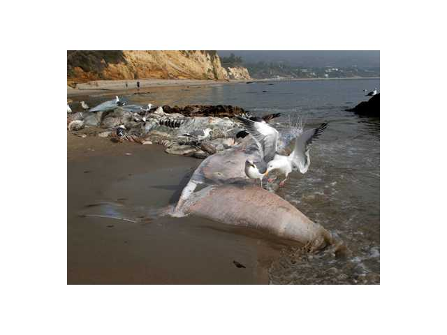 Sea birds pick at the carcass of a young male fin whale that washed up Monday between the Paradise Cove and Point Dume areas of Malibu. The rotting carcass near celebrity homes is causing a gigantic cleanup problem.