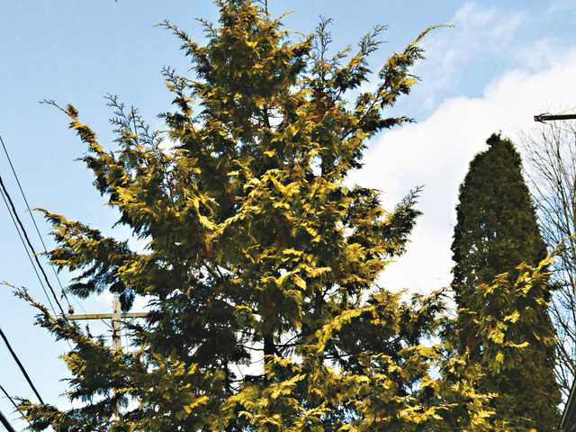 This Nov. 24 photo shows a yellow-tipped arborvitae in Stone Ridge, N.Y.