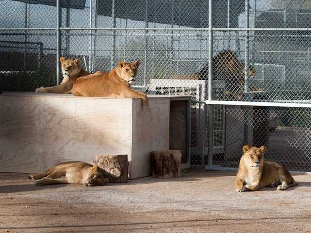 Lionesses are shown at the Lion Habitat Ranch in Henderson, Nev. The habitat used to provide lions to the lion habitat at the MGM Grand but is now open to the public.