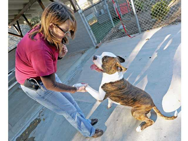 Clare Storey plays with a 4-month-old gray and white Pit Bull mix at the Castaic animal shelter on Thursday.