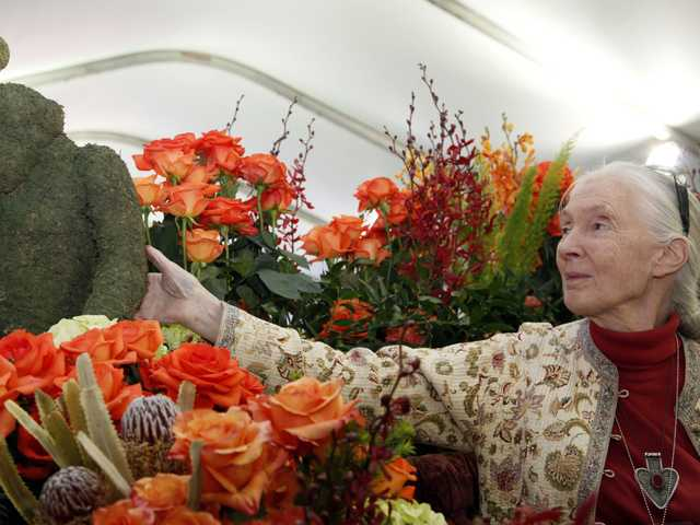 Jane Goodall, the world's foremost expert on chimpanzees looks over flowers in Pasadena, on Monday. Goodall will be the Grand Marshall of the 2013 Rose Parade on New Year's Day.