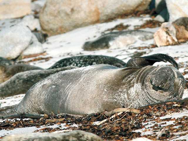 A juvenile male elephant seal appears to be scratching his head as he basks in the sun among a pack of harbor seals on the beach near Hopkins Marine Station in Pacific Grove on Thursday.