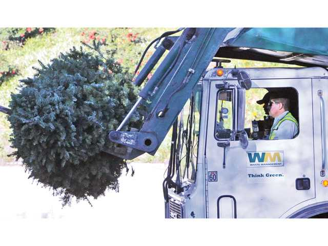 A Waste Management two-man team watches as the truck lifts a Christmas tree for recycling in Saugus on Wednesday. Collectors picked up about 3,000 trees in the single day. Signal photo by Dan Watson.
