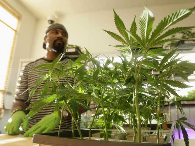 In this Feb. 1, 2011 file photo, Harborside Health Center employee Gerard Barber stands behind medical marijuana clone plants at the dispensary in Oakland.