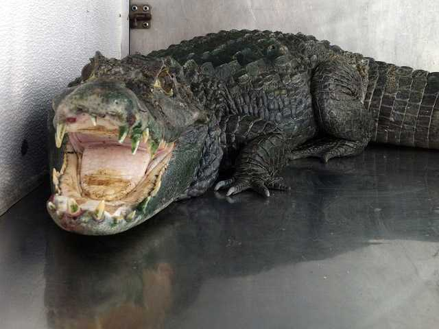 "An alligator named ""Mr. Teeth"" is seen after it was discovered in a home in Castro Valley, Calif."