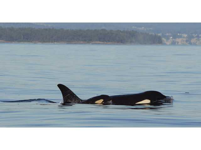 K-44, left, a newborn male orca whale swims with his mother, K-27, near Friday Harbor in the San Juan Islands.