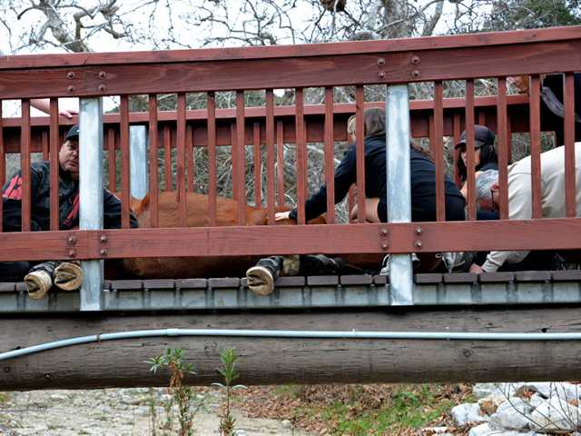 A horse walking across a pedestrian bridge at the Placerita Nature Center fell, which caused three of its hooves to go under the wood railing and trapped the animal. (Rick McClure/For The Signal)