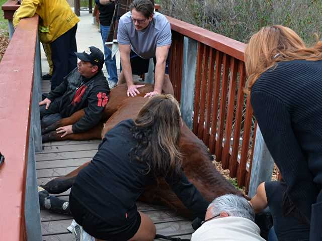 A horse fell while on a pedestrian bridge at the Placerita Nature Center. A veternarian and members of the county Fire Department were able to free the stuck horse. (Rick McClure/For The Signal)