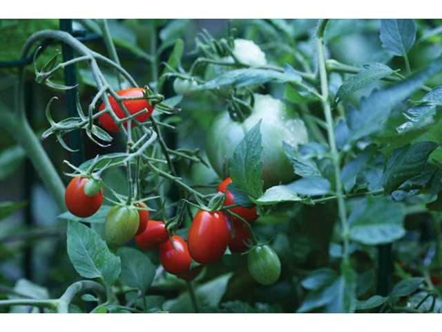 Heirloom tomatoes, rear, can take more than 100 days to ripen, while the smaller cherry tomatoes, foreground, need only 65 days.