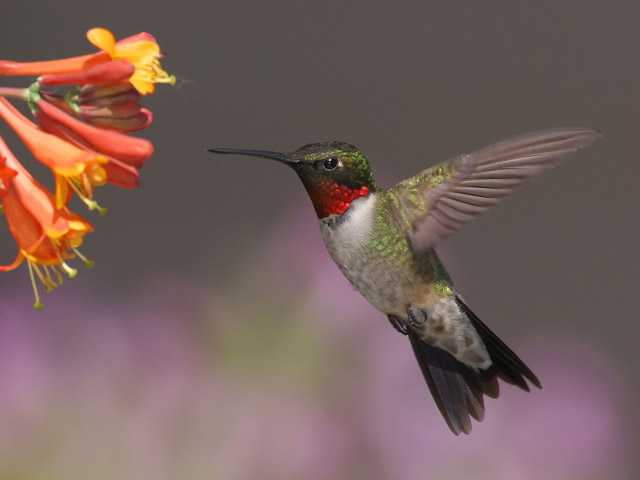 A male Ruby-throated hummingbird feeds at a honeysuckle plant.