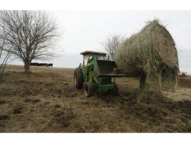 In this Tuesday, Feb. 12, 2013 photograph, Randy Cree picks up a bale of hay while feeding cattle on his farm.