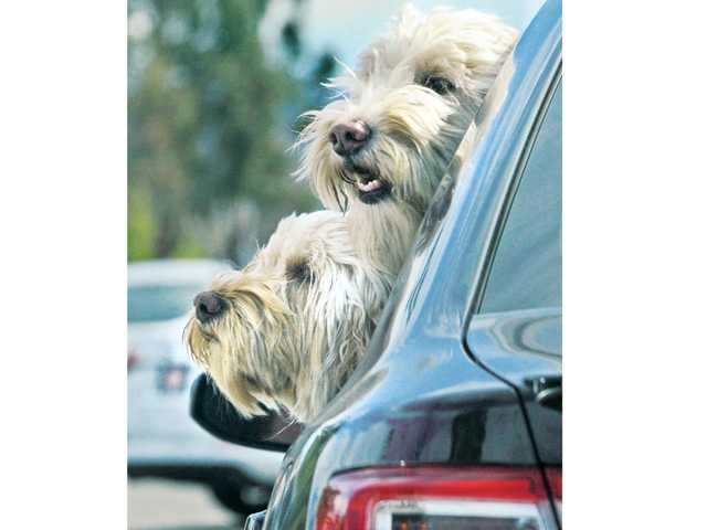 Goldendoodles Mekeko and Roxie stick their heads out the rear window as a car prepares to make a left turn on McBean Parkway in Saugus during the recent pleasant weather. The weather forecast for the Santa Clarita Valley calls for continued good weather with morning Santa Ana winds possible through Monday. Highs could reach nearly 80 degrees Friday and Saturday.