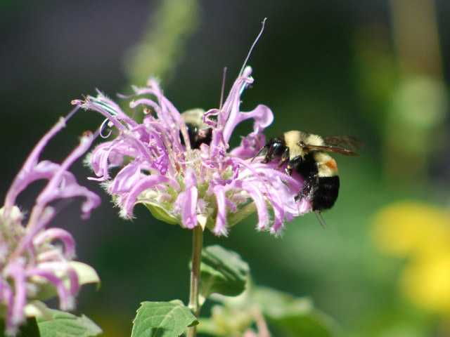 The photo provided by amateur Illinois bee spotter Johanna James-Heinz, shows a rusty-patched bumblebee.