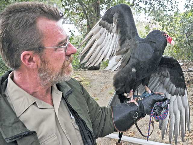 Ten year-old female turkey vulture Apollo at the Placerita Canyon Nature Center on Thursday. (Dan Watson/The Signal)