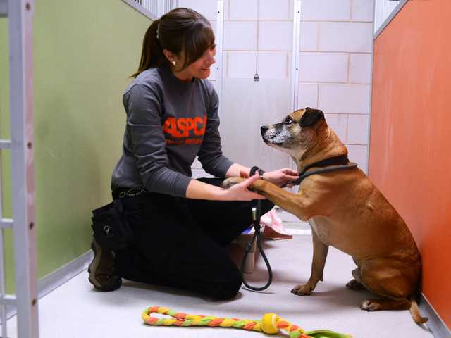 A 5-year-old Shepard-pit bull mix, with Lauren Zvernia, of ASPCA animal behavior enrichment coordinator, in one of the real life rooms at the ASPCA Behavioral Rehabilitation Center in Madison, N.J.