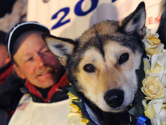 Mitch Seavey holds one of his lead dogs, Taurus, as he poses for photographers at the finish line of the Iditarod Trail Sled Dog race in Nome, Alaska, Tuesday.